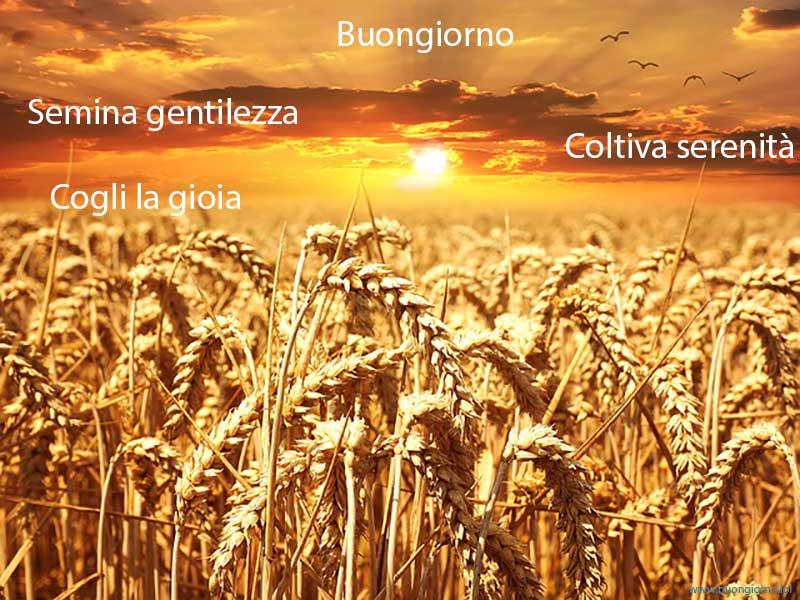 campo di grano sotto un cielo al tramonto