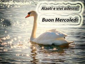 un grande cigno bianco nuota nel lago